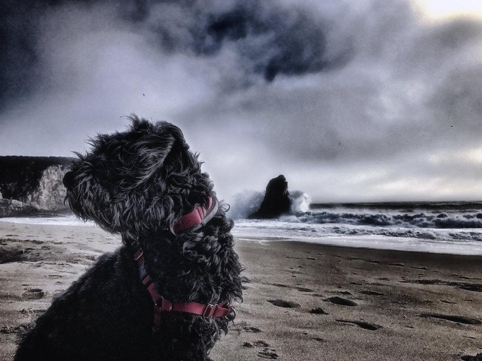Davenport, Portuguese Water Dog, Sharka, Ocean, Beach