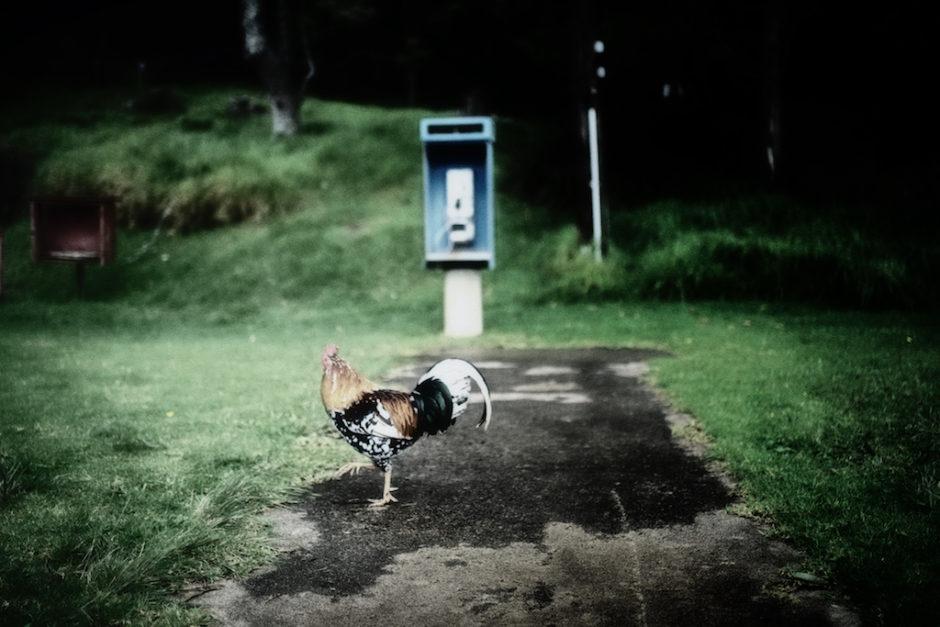 Kauai, Chickens, Hawaii, photography, Jamie Lyons, documentation